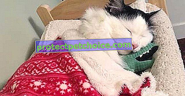 ¡Desde su rescate, este gato ha disfrutado de una suite especialmente diseñada para él cada noche!