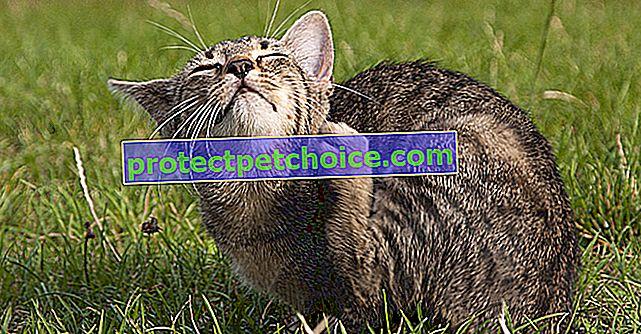 Hemobartonelóza u koček