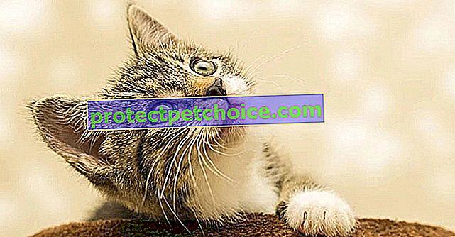 5 trikov, ki jih lahko naučite mačko v nekaj dneh!