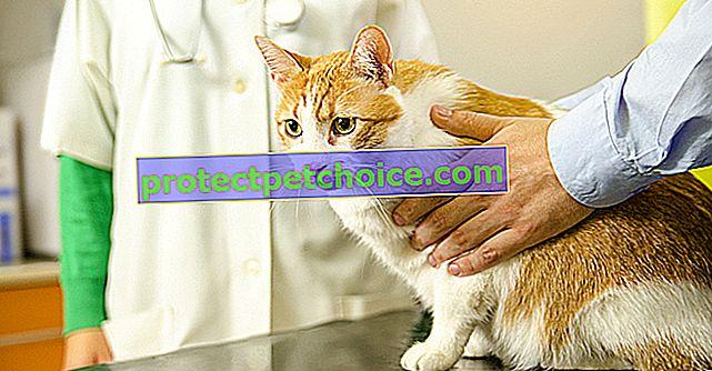Kedi için veteriner hekime periyodik ziyaret