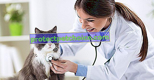 Първото посещение на вашето коте на ветеринар