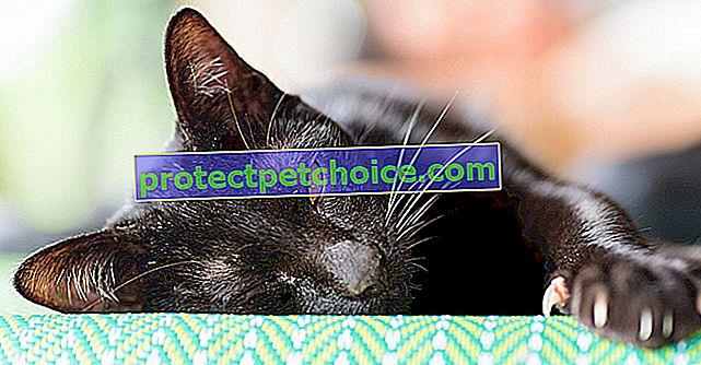 Nemoci přenášené škrábáním kočky