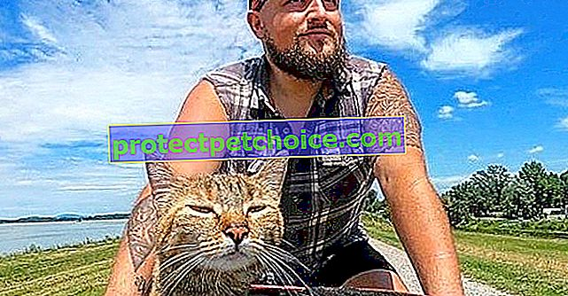 Rescatado durante un viaje en bicicleta, ¡este gato es hoy el compañero de viaje perfecto para este hombre!