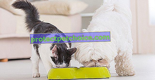 Karma dla kota czy krokiet? Co wybrać