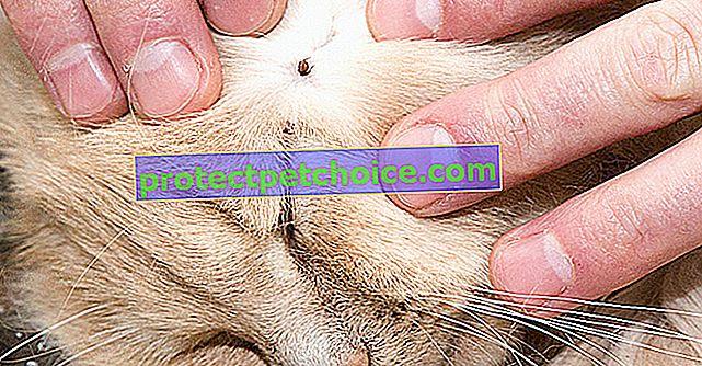 Анаплазмоза при котки