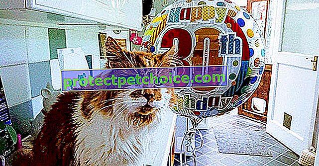 Un gato inglés considerado el más viejo del mundo, ¡a los 30!