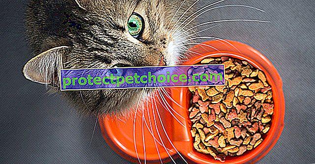 Hranjenje vaše zatvorene mačke