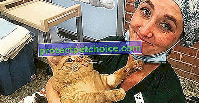 Obézní, tato zázvorová kočka nakonec najde adoptivní rodinu