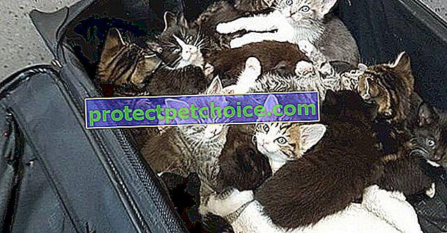 Těchto 15 koťat bylo opuštěno na okraji silnice v kufru a bylo objeveno včas a správnou osobou