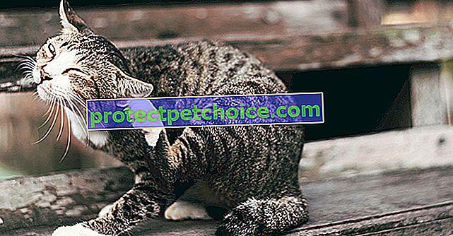 Akné u koček