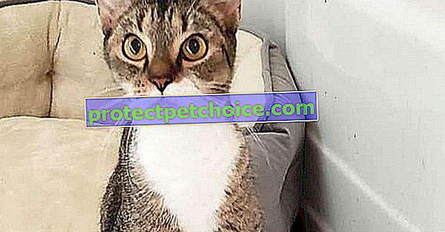Este gato con patas delanteras deformadas se pone de pie como un humano