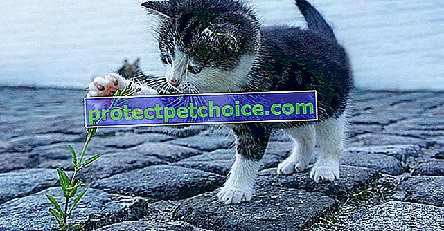 ¿Los gatos son más diestros o zurdos? Dependería de su género