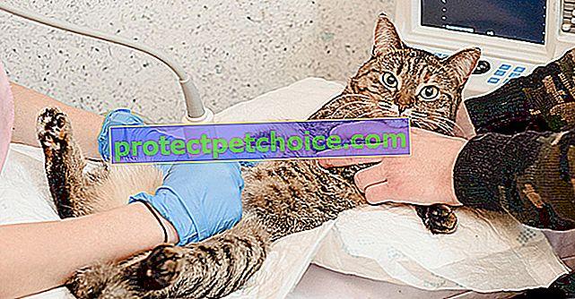 Инфекциозен перитонит при котки