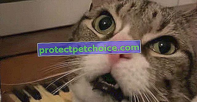 Тази котка има неудържима техника, за да накара господарката си да разбере, че е гладна! (видео)