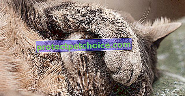Простуда или Coryza при котки