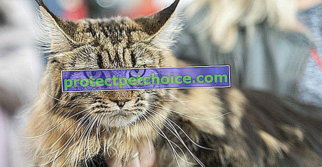 Erkek mi dişi kedi mi: hangisini seçmeli?