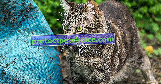 Kočičí svrab