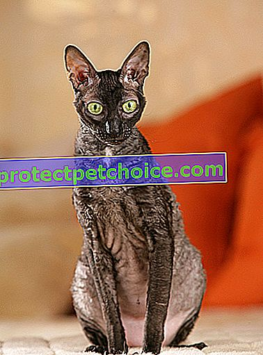 Zdjęcie: Cornish Rex cat on Pets