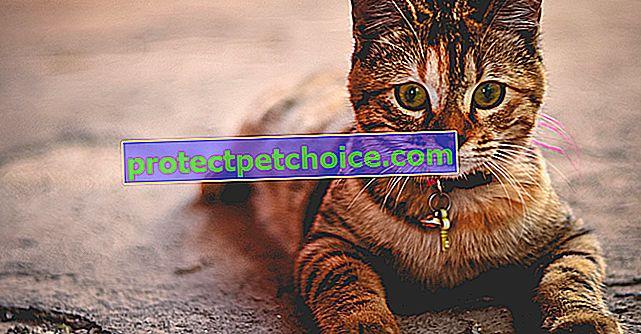 Najboljša imena P za mačko