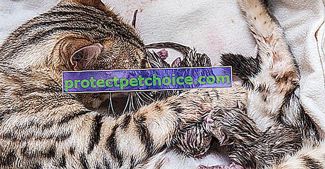 Porod nebo porod u kočky