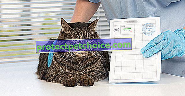 Kočičí pas
