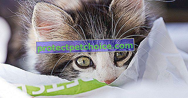 Česte bolesti u mačaka