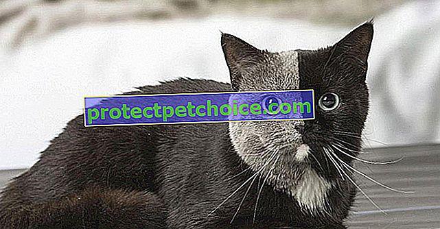 Znáte ty chimérické kočky, ty oboustranné kočkovité šelmy?