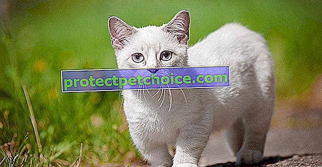 Осиновете възрастна котка