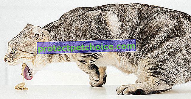 Střevní obstrukce u koček