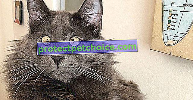 Este adorable gato bizco pone su popularidad en las redes sociales al servicio de los refugios