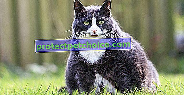 Котешко затлъстяване