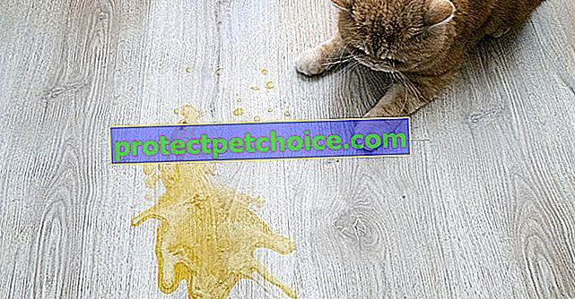 Kočičí zvracení