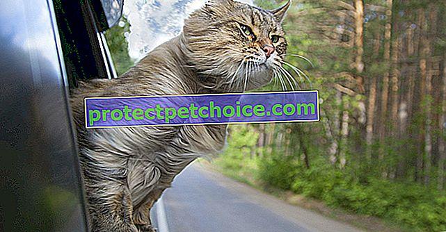 Лечение на морска болест при котки
