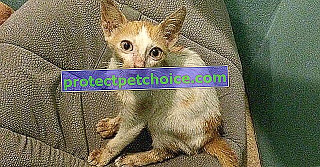 Цей кошеня зі зламаною щелепою виглядав приреченим, але жінка з великим серцем вірила йому