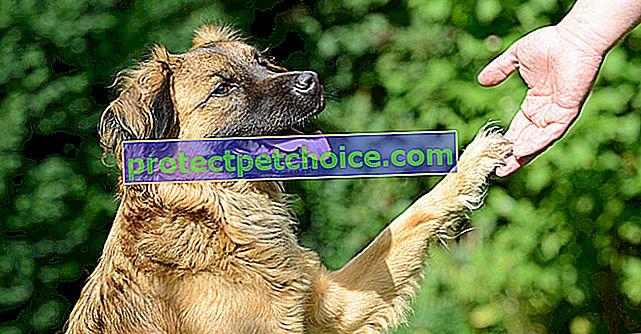 Naučte svého psa dát tlapu