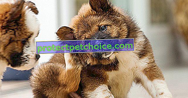 Zbavte psa externích parazitů (klíšťata, vši, roztoči)