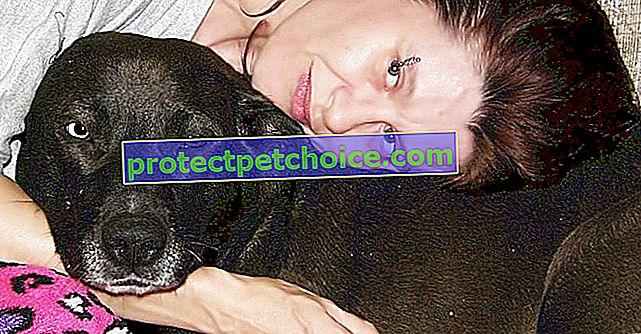 Tento labradorský kříž a jeho milenka žijí noční můrou, protože si ho úřady spletly s Pitbullem