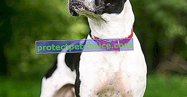 Fotoğraflar American Bulldog yavruları ve yetişkinleri