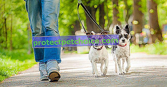 Научите собаку ходить на поводке