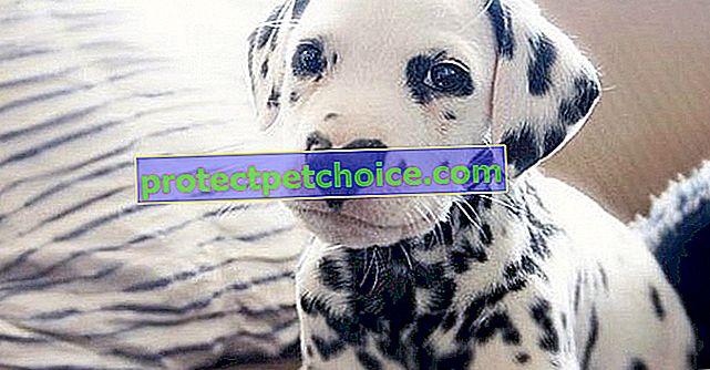 ¡Un cachorro dálmata está causando furor en Internet gracias a la particularidad de su nariz!