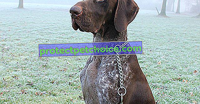 Fotos cachorros y adultos de Braco Alemán