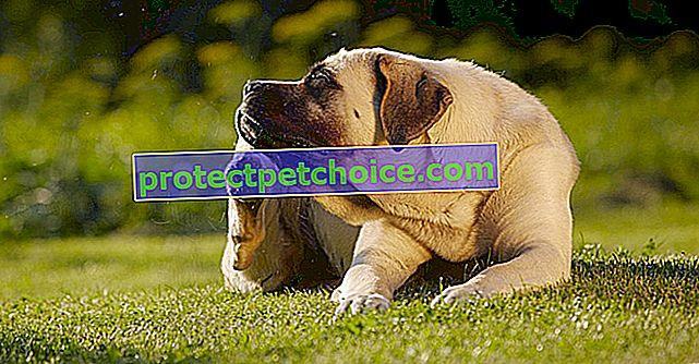 Естествени лечения за бълхи за кучета