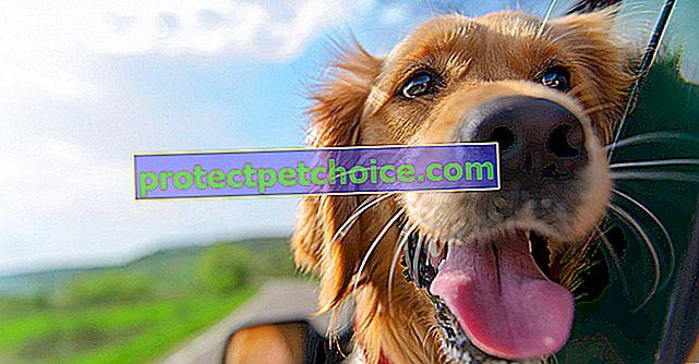 Köpeklerde hareket hastalığı