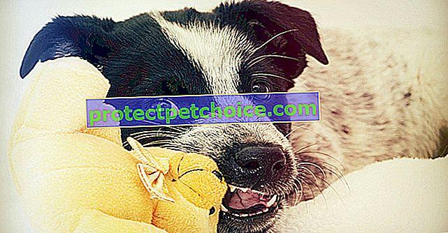 Zubni problemi kod pasa