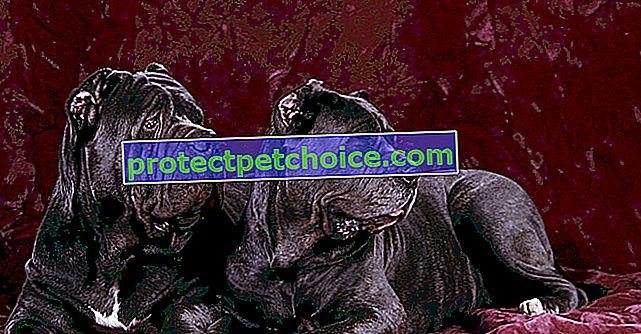 Fotografije psići napuljskog mastifa i odrasli