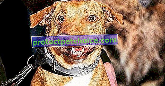 Що стало з Пікассо, собакою з деформованою мордочкою, яка врятувалася від евтаназії?