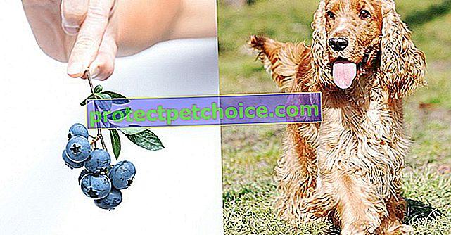 6 розумних ідей чорниці для лікування ваших собак