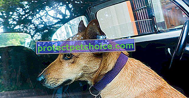 Страх машин у собак
