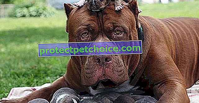 ¡Hulk, el Pitbull más alto del mundo, papá de 8 cachorros que valen una fortuna!