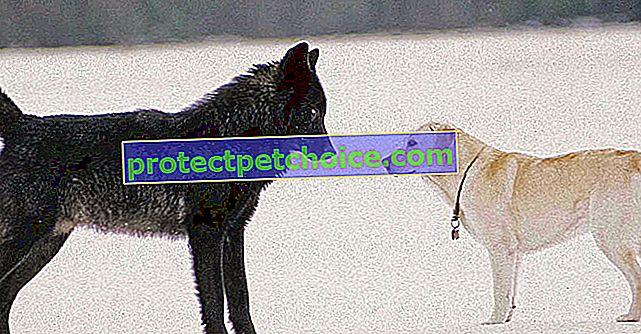 Atrapado por un lobo salvaje, ¡la reacción de este perro ha desafiado todas las expectativas de su dueño! (vídeo)